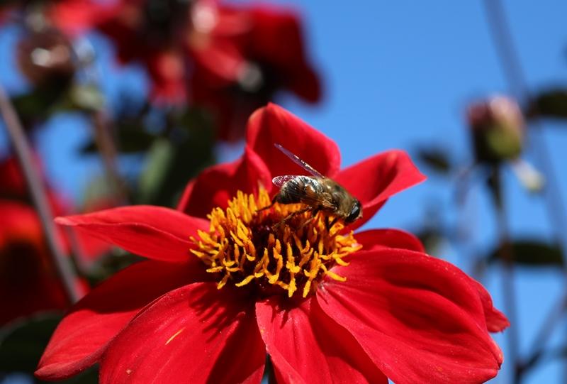 世羅高原農場、ダリアと蜂