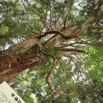 『八栄神社の大ヒノキ』巨大な異形の根本に驚く!!(北広島町岩戸)