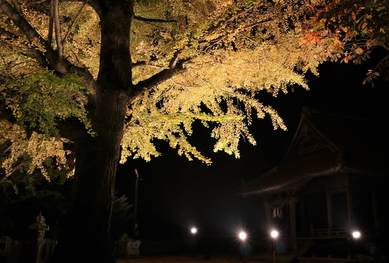客人神社、イチョウのライトアップ