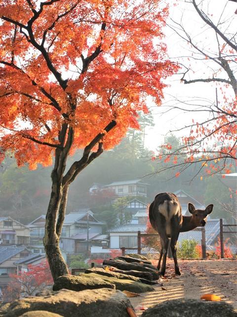 宮島、もみじの紅葉と鹿
