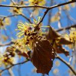 『黄色いマンサクの花』が春の兆しを告げる(広島市植物公園)