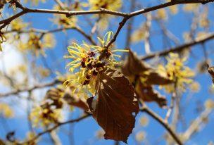 黄色いマンサクの花が青空に映える