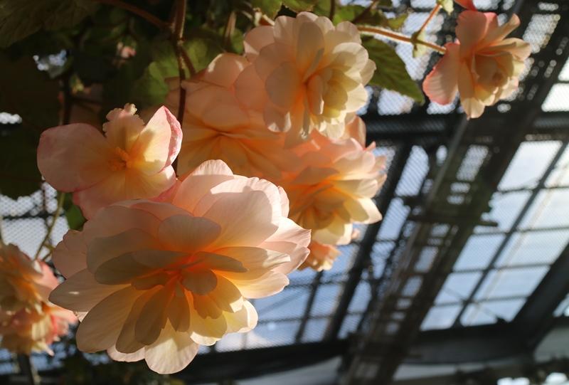 花が満開のベゴニア温室