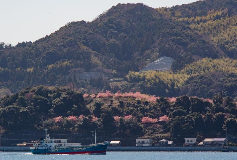遠くから見える城山歴史公園、満開の河津桜
