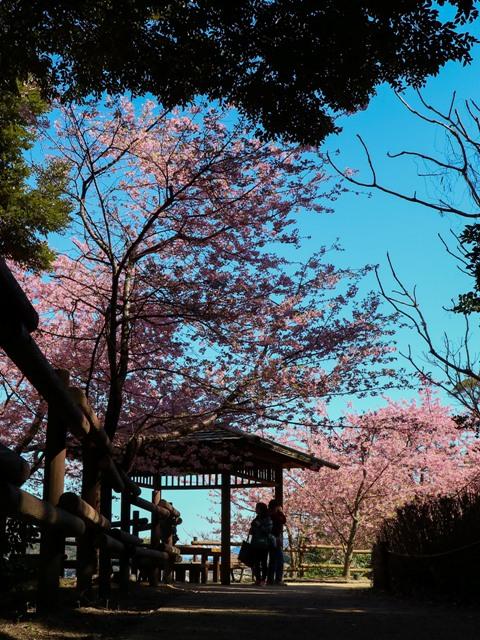 城山歴史公園の河津桜と東屋