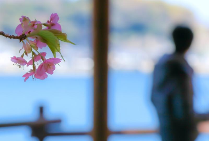 城山歴史公園の河津桜