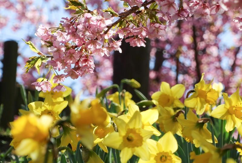 城山歴史公園の河津桜と黄色スイセン