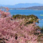 『上関町城山歴史公園』河津桜が満開でピンク色に染まる~!!