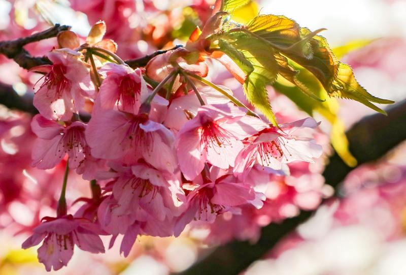 大芝島、満開の河津桜