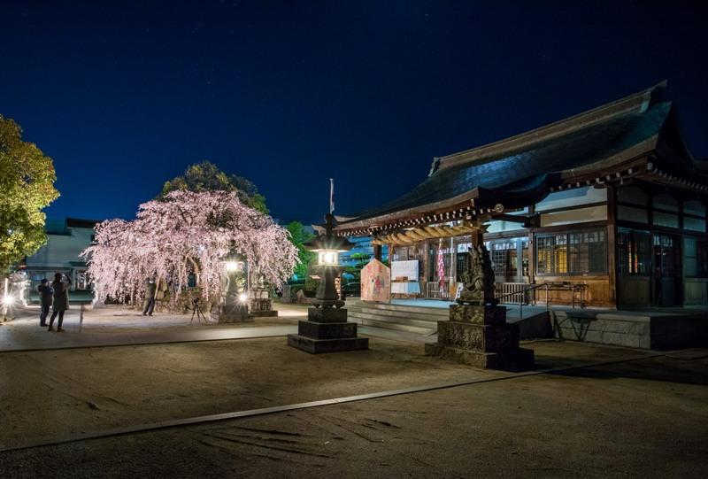 観音神社、しだれ桜のライトアップと本殿