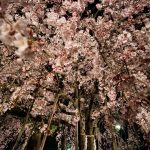 『観音神社』圧巻の存在感を放つ、しだれ桜のライトアップ(佐伯区坪井)