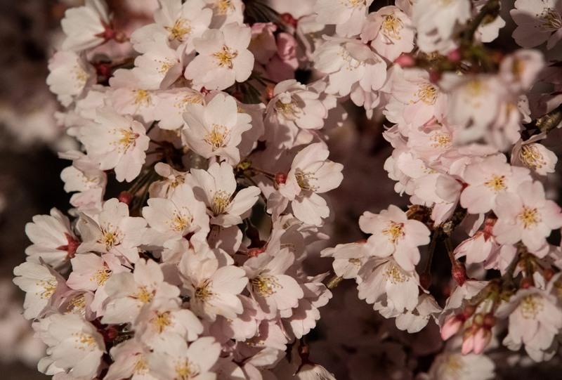 観音神社、しだれ桜のライトアップ