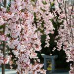 観音神社で「しだれ桜」が満開!まるで桜のシャワーじゃ!(佐伯区坪井)