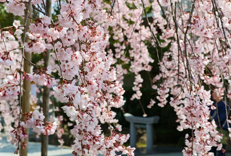 観音神社のしだれ桜
