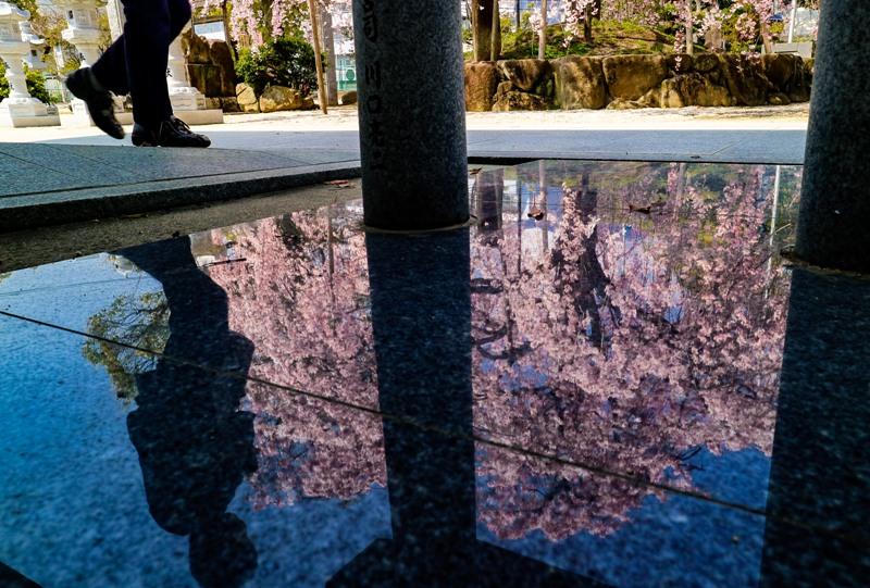 観音神社のしだれ桜、リフレクション