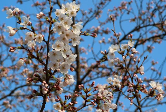 広島平和公園の桜開花状況2018