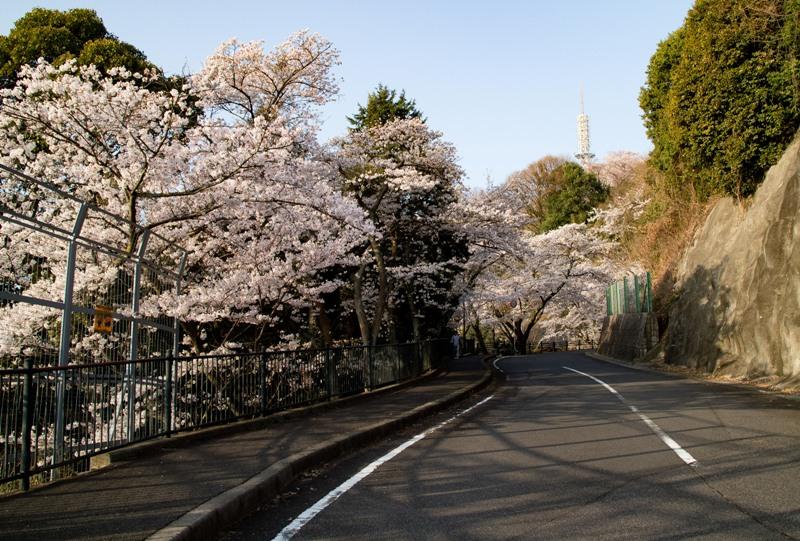 黄金山、山頂へと続く道と桜
