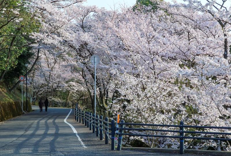 黄金山、山頂へと続く道と桜のトンネル