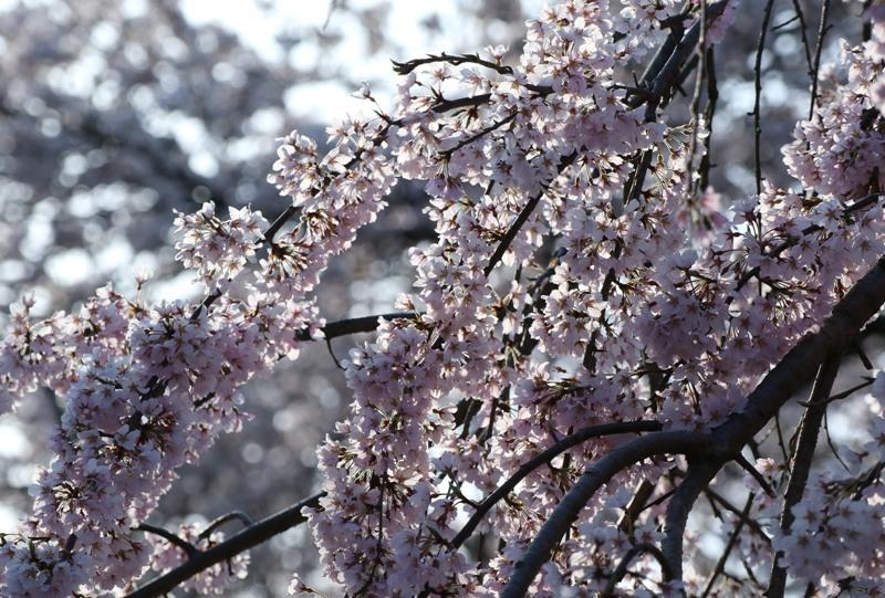 黄金山に植えられた三春の滝桜