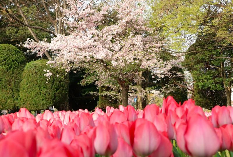 広島平和公園の桜とチューリップ