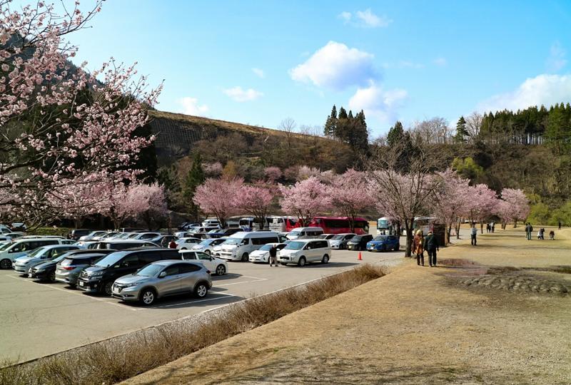 白川郷、桜咲く「村営せせらぎ公園駐車場」