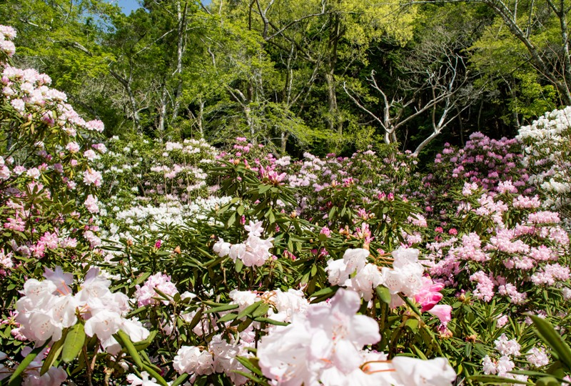 右平『花園の里』、山小屋付近のシャクナゲ