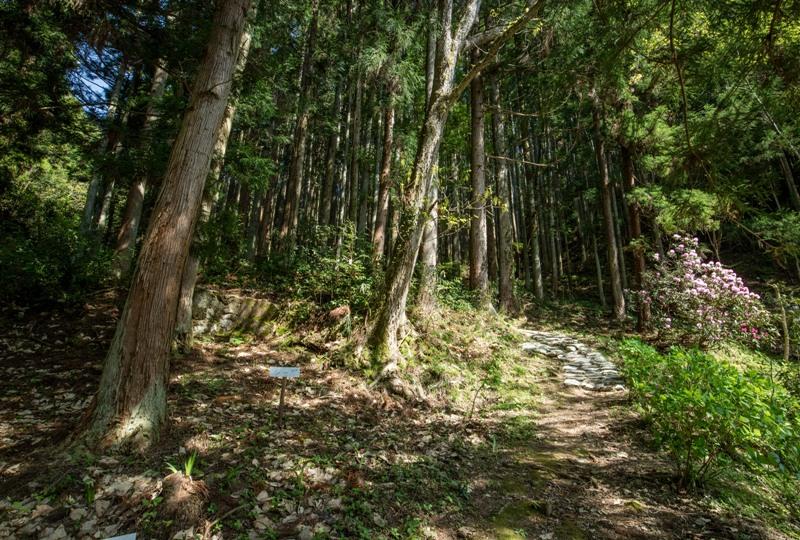 右平『花園の里』、樹齢700年の夫婦杉までの道のり