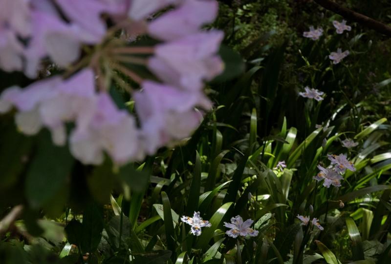 右平『花園の里』、シャクナゲとシャガ