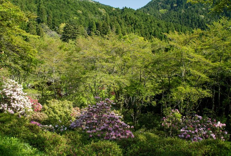 右平『花園の里』桜の木