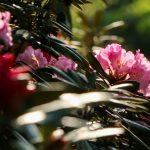 『花みどり公園』約170品種ものシャクナゲが満開~!!