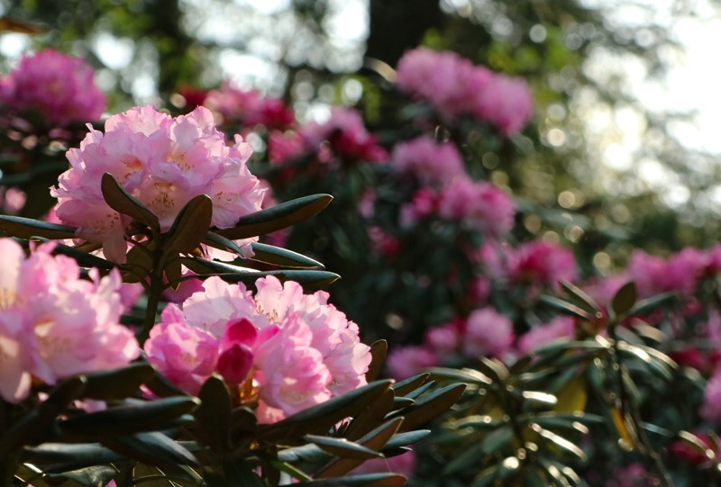花みどり公園、シャクナゲ