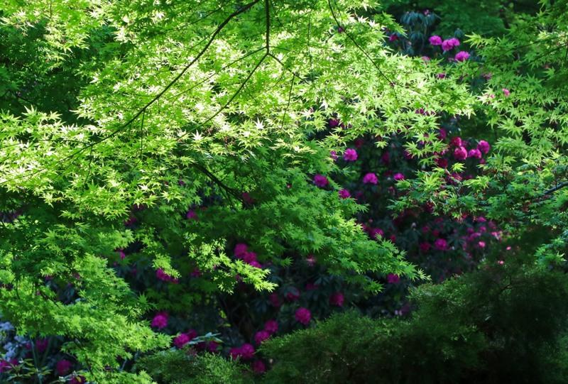 花みどり公園、新緑とシャクナゲ