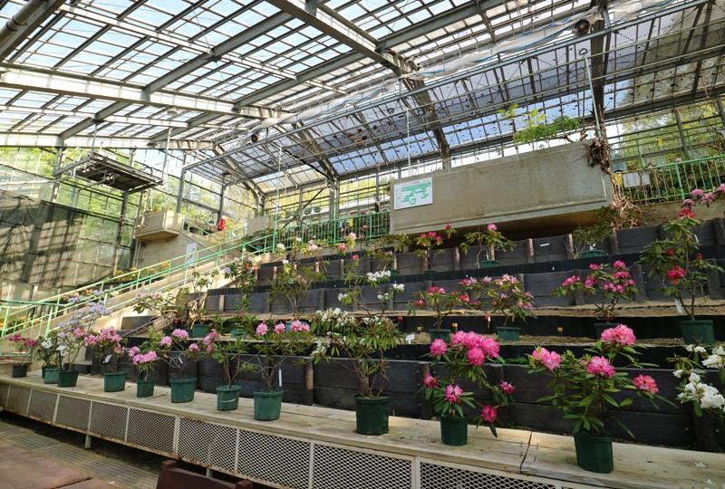 花みどり公園、大展示室のシャクナゲ