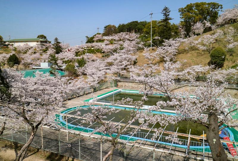 桜満開の千光寺公園、市民プール