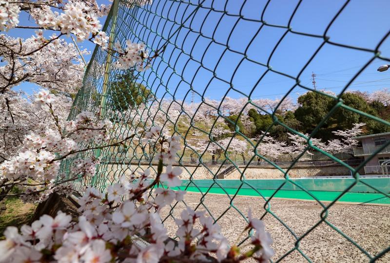 桜満開の千光寺公園