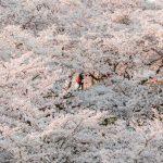 しまなみ海道、伯方島『開山公園』が桜で埋め尽くされていた~!!