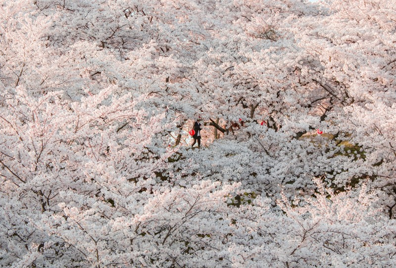 開山の桜(しまなみ海道、伯方島)