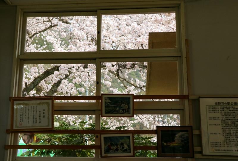安野花の駅公園、旧安野駅駅舎内から桜を望む