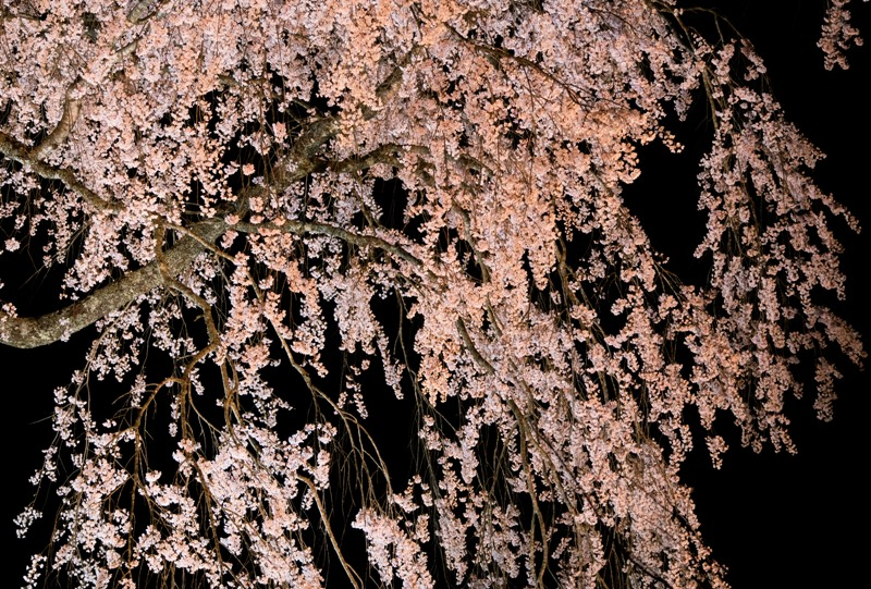 湯の山温泉のしだれ桜(竹下桜)のライトアップ