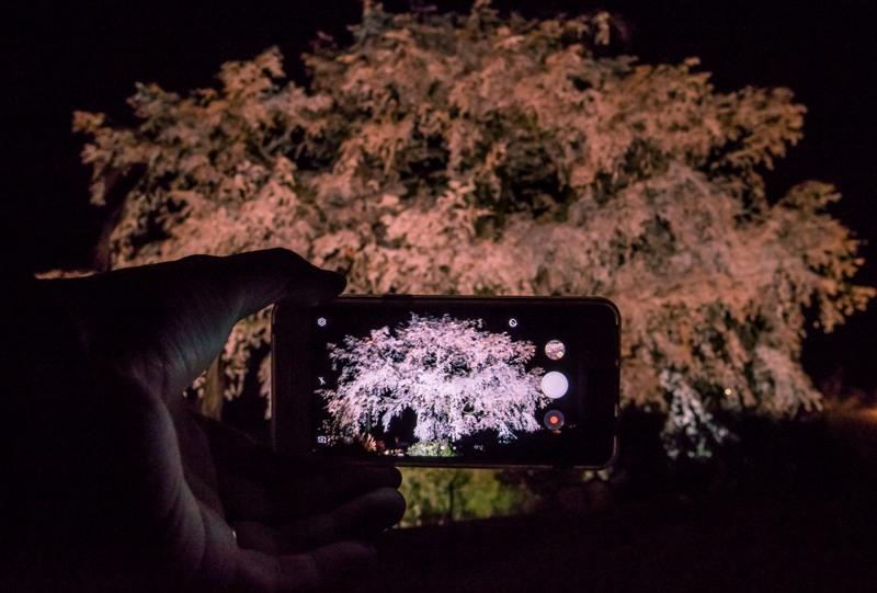 湯の山温泉のしだれ桜(竹下桜)のライトアップをスマホ越しに