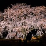 「湯の山温泉」しだれ桜のライトアップ!闇夜に浮かぶ竹下桜!!