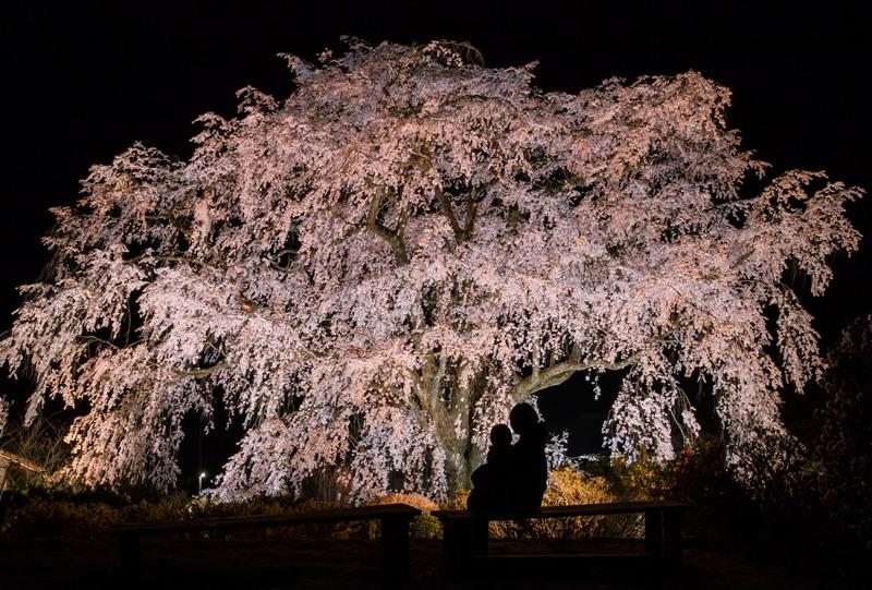 湯の山温泉のしだれ桜