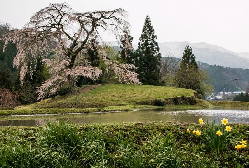 与一野のしだれ桜と水田
