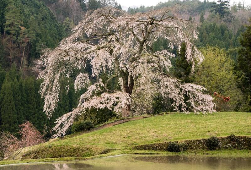 与一野のしだれ桜