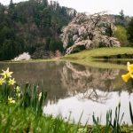 与一野のしだれ桜、地域の方に守られて田園風景と共に(安芸太田町)