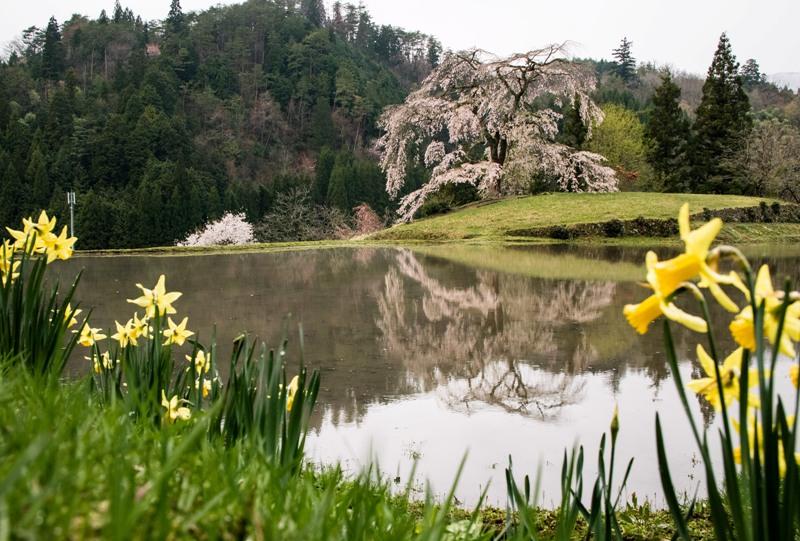 与一野のしだれ桜、水田とスイセン