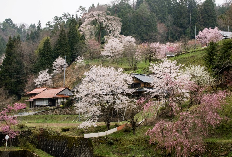 与一野のしだれ桜を県道305号線から望む