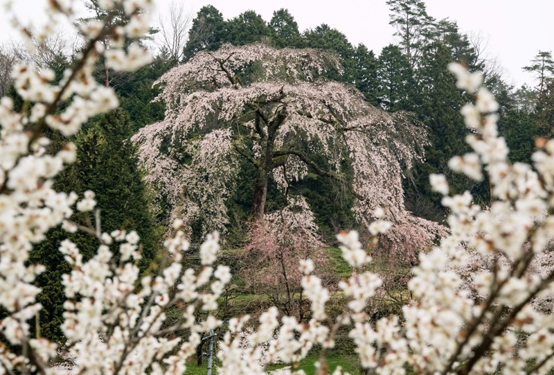 与一野のしだれ桜と梅の花