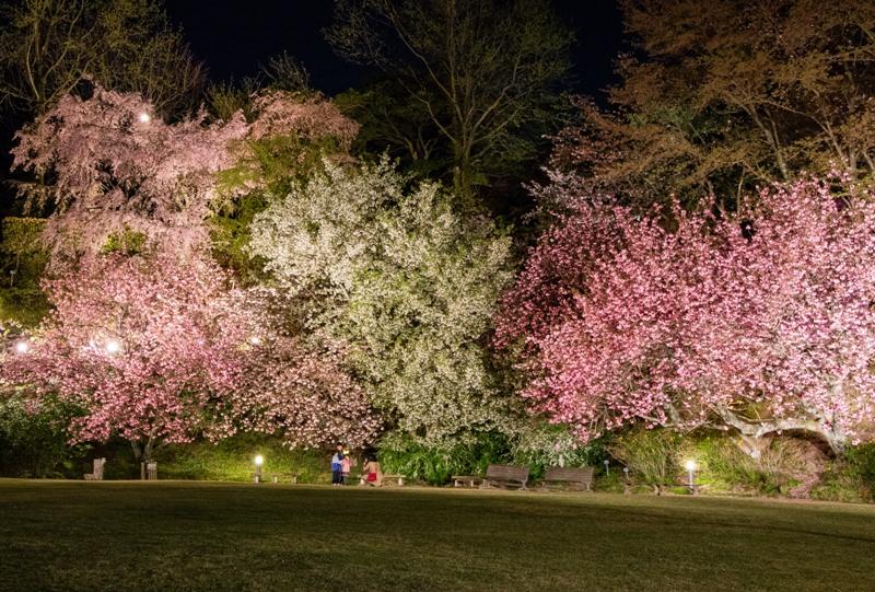 広島市植物公園の桜、ライトアップ