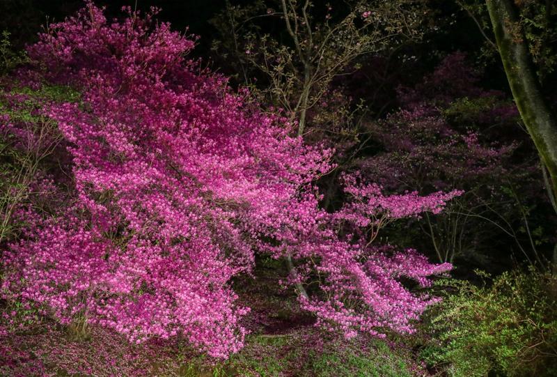 広島市植物公園のツツジ、ライトアップ